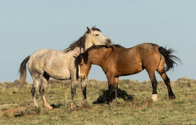 dwa mustangi dzikie konie