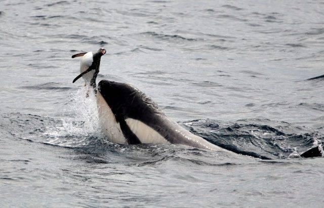 orka i pingwin