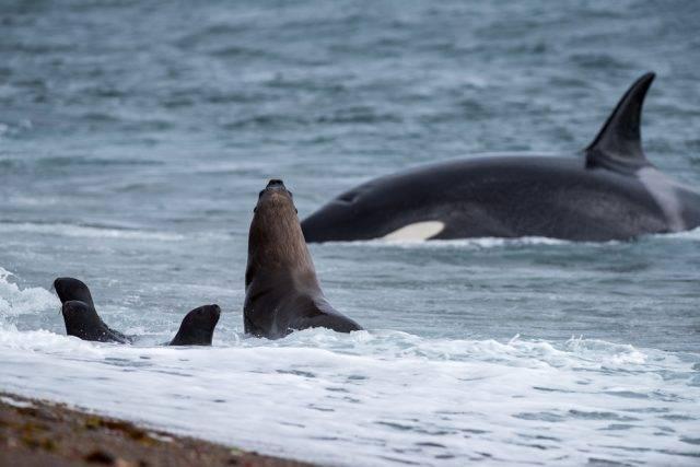 polująca orka