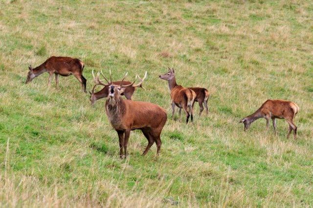 pasące się jelenie na polanie