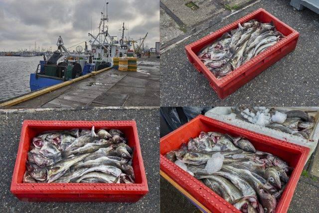 ryby z Bałtyku