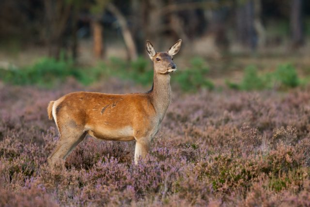 samica jelenia
