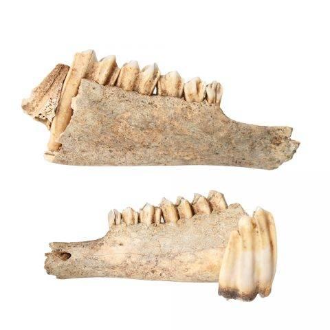 zęby jelenia szlachetnego