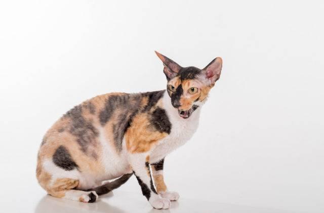 rasa kotów cornish rex
