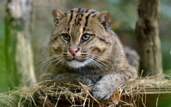 Taraj (kot cętkowany)