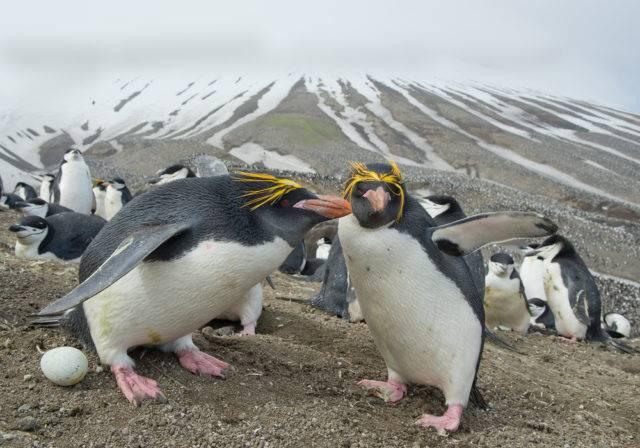 pingwiny złotoczube