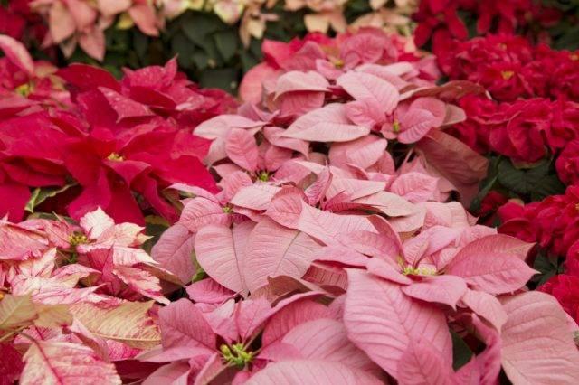 roślina doniczkowa na Święta