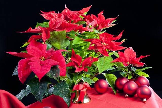 roślina na Boże Narodzenie