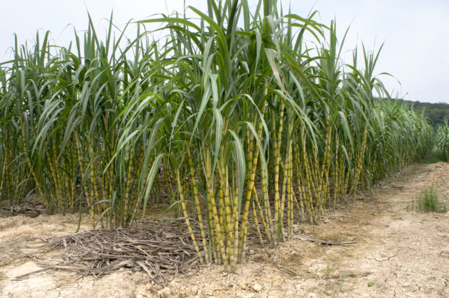 plantacja cukrowca