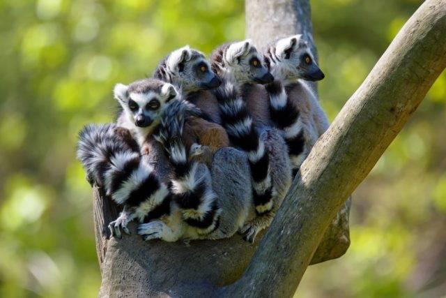 lemur katta grupa