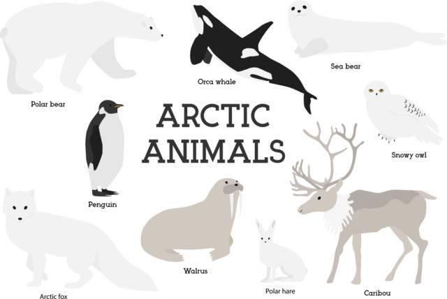 arktyka zwierzęta