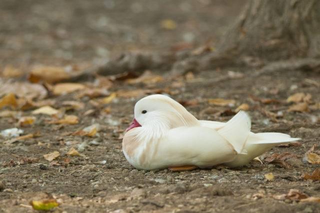 kaczka albinos