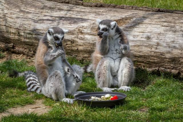 lemur katta pożywienie