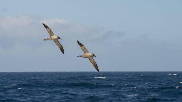 Lista ptaków Antarktyki albatrosy