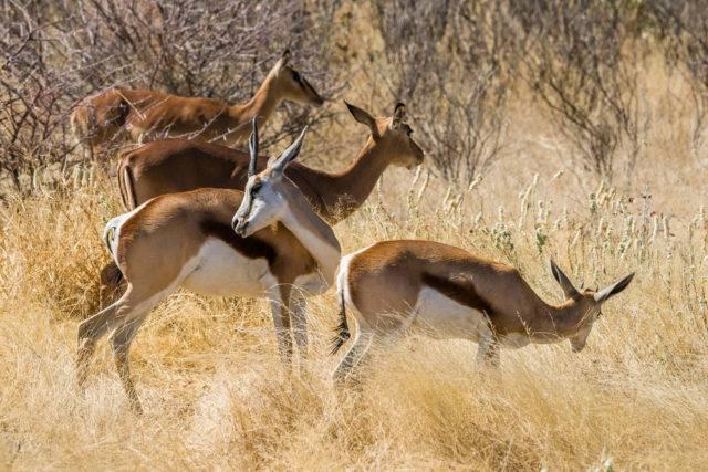 skocznik antylopi w Parku Narodowym Etoszy
