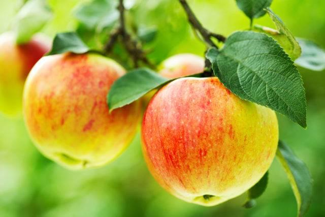 ile kosztują drzewka jabłoni