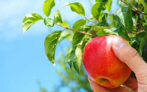 Cena drzewek jabłoni