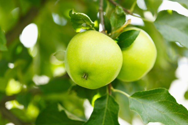 cena drzeka jabłoni