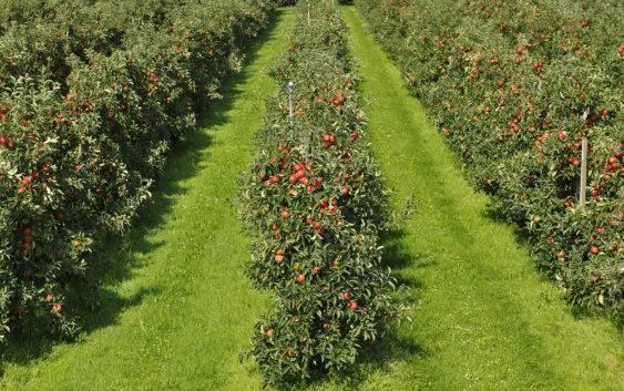Drzewka jabłoni