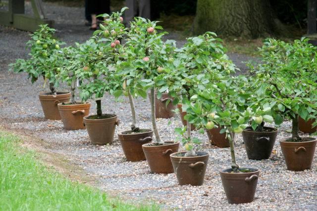 drzewka jabłoni niskopienne
