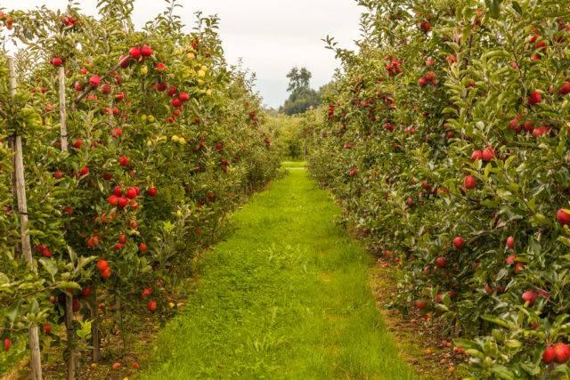 drzewka jabłoni - sad