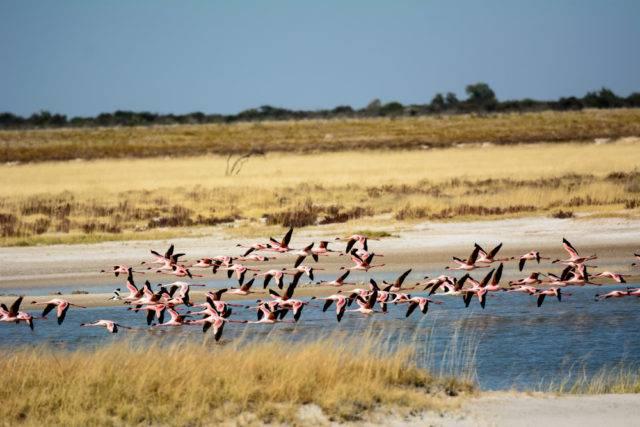 flamingi w parku etoszy