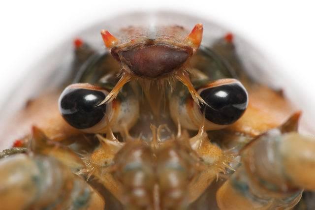 homar amerykański widziany z przodu