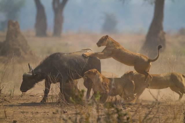 lwy polujące na bawoła afrykańskiego