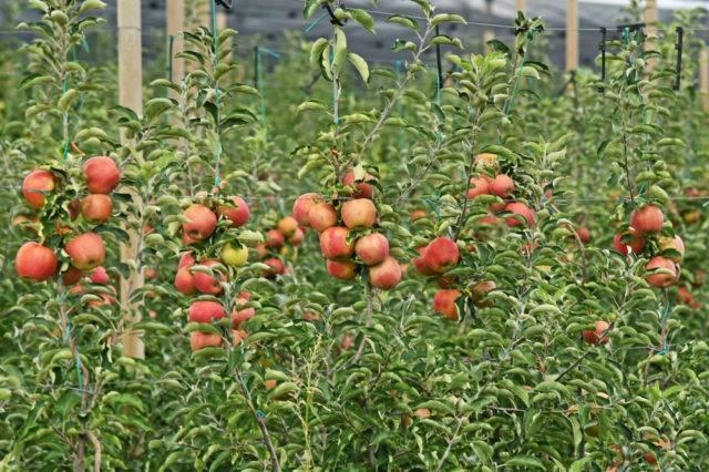 młody sad jabłoniowy