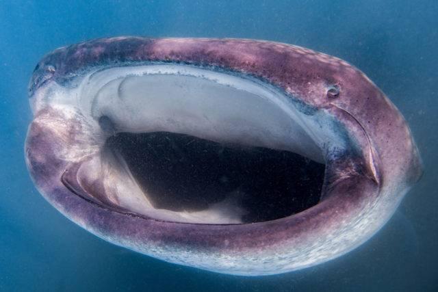 pysk rekina wielorybiego