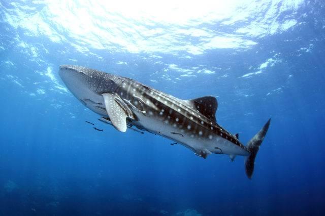 rekin wielorybi największa ryba