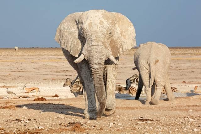 słoń afrykański w Parku Narodowym Etoszy