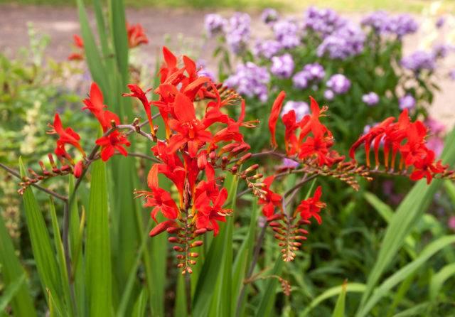 kwiaty cebulowe sadzone wiosną krokosmia ogrodowa