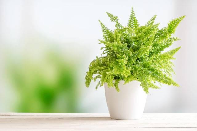 lecznicze rośliny doniczkowe paproć