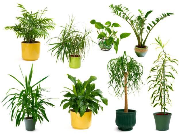 lecznicze rośliny doniczkowe paprocie, draceny