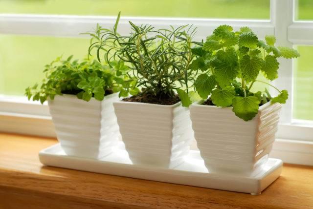 lecznicze rośliny doniczkowe zioła