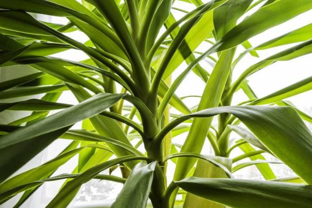 lecznicze rośliny lecznicze juka