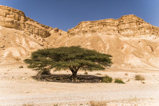 przystosowanie akacji do życia na pustyni Negev