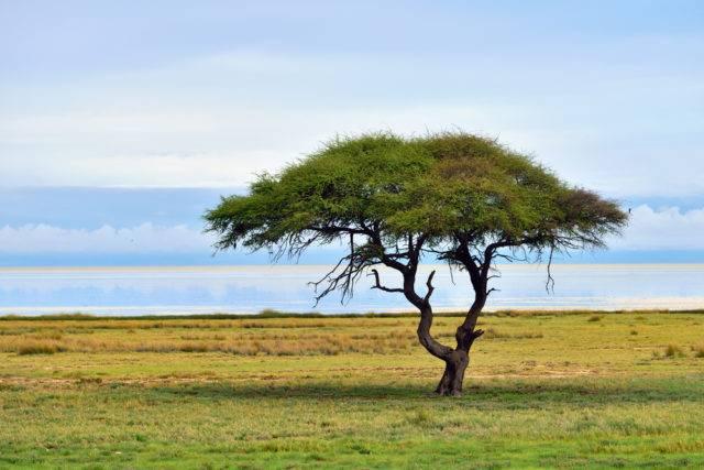 drzewo akacja wszystko o niej