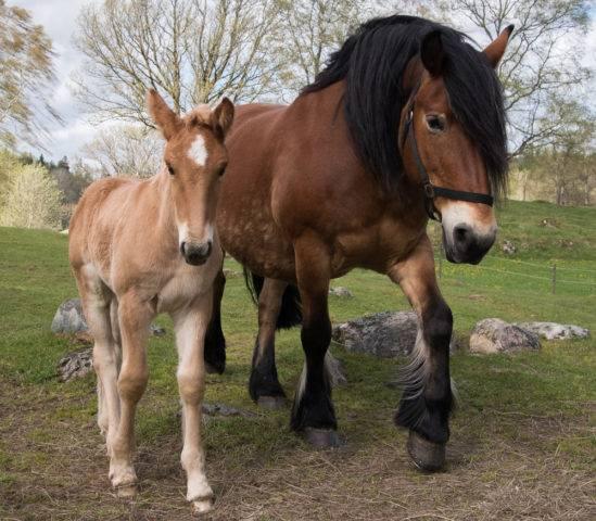klacz ze źrebakiem rasy koń północno-szwedzki