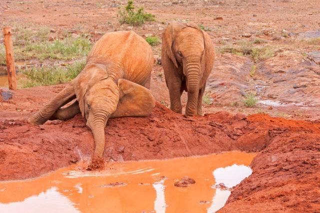 młode słonie afrykańskie