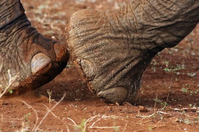 słoń afrykański i jego nogi
