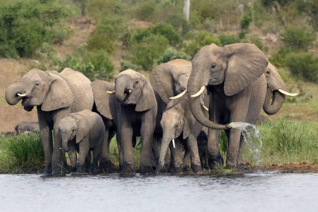 rodzina słoni afrykańskich
