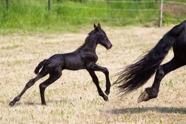 zanim kupisz źrebaka konia fryzyjskiego