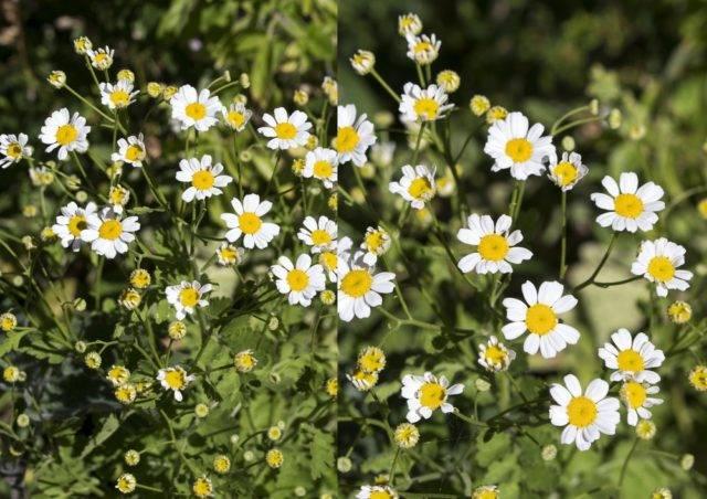 rośliny które odstraszają kleszcze złocień dalmatyński