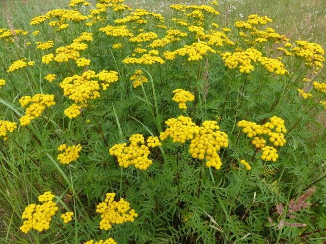 rośliny które odstraszają kleszcze wrotycz pospolity