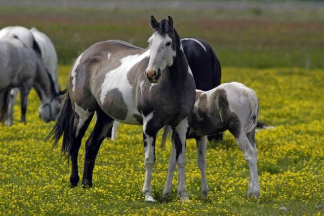 konie American Paint Horse