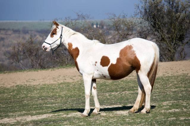 rasa konia american paint horse