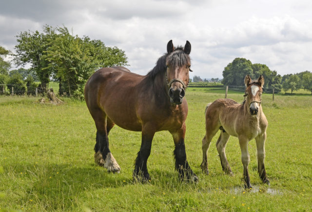 koń belgijski z źrebakiem