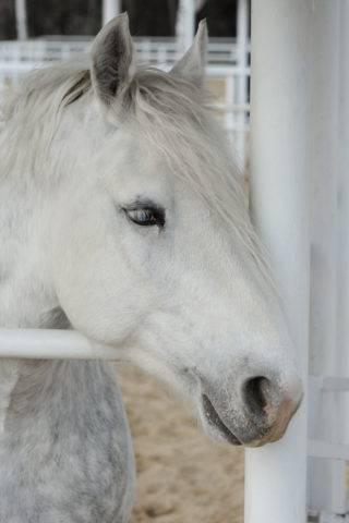 koń buloński głowa